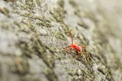 Red Velvet Mite Stock Images