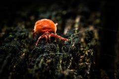 Red velvet mite. Parasite Red velvet mite on dry tree macro photography Stock Image