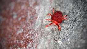 Red velvet mite (Trombidium holosericeum). This big red Velvet mite, with its strawberry-like body, is walking on a brick wall hunting for food royalty free stock photos