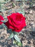 Velvet rose royalty free stock image