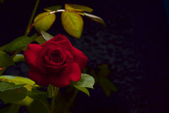 Red velvet rose Royalty Free Stock Photos