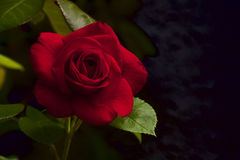 Red velvet rose Royalty Free Stock Images