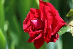 Red velvet rose kissed by the sun. Surrounded by greenery Royalty Free Stock Images