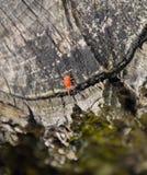 Red velvet tick on the stump. Close up macro Red velvet mite or Stock Photo