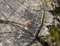 Red velvet tick on the stump. Close up macro Red velvet mite or Royalty Free Stock Photo