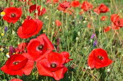 Red velvety field of poppies Stock Image