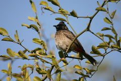 Red vented bulbul. (Pycnonotus cafer), Keoladeo Ghana National Park, Bharatpur, Rajasthan, India Stock Photo