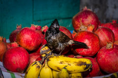 Red,vented,bulbul,baby,window,dish,passerine,Passeriformes,fruit Stock Images