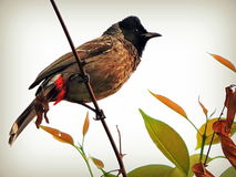 Red-vented bulbul Royalty Free Stock Images