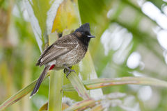 Red-vented bulbul bird in Nepal Stock Image
