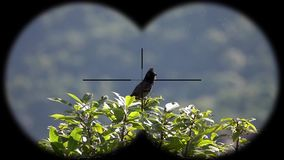 Red-vented bulbul bird pycnonotus cafer seen through binoculars. Bird watching at wildlife safari. Shot with a Sony RX10 IV fps 59,94 FHD stock footage
