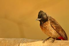 Red - vented bulbul bird. Red- vented bulbul bird standing on the bamboo. beautiful golden light stock images