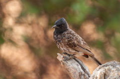 Red vented bulbul close up Royalty Free Stock Image