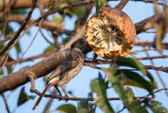 Red Vented Bulbul. Eating fruit Royalty Free Stock Image