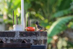 Red vented Bulbul eating papaya. / Red vented Bulbul eating fruits Royalty Free Stock Photography