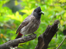 Red vented Bulbul hunting and eating insect Royalty Free Stock Photos