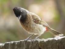 Red Vented Bulbul looking curiously Stock Photo