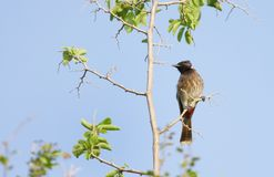 Red vented bulbul Stock Photography