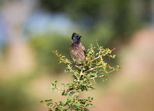 Red Vented Bulbul. Royalty Free Stock Images