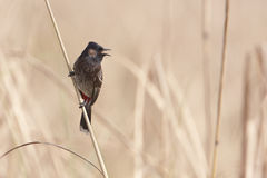 Red-vented Bulbul, Nepal Stock Image