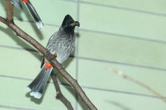 Red-vented bulbul. On the perch Stock Photos