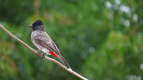 Red Vented Bulbul perched on electric wire Stock Photo