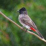 Red Vented Bulbul perched on electric wire Royalty Free Stock Image