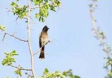 Red vented bulbul perched on a tree Stock Photo