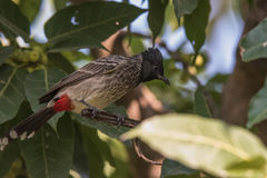 Red-Vented bulbul. Perched in wood Royalty Free Stock Images
