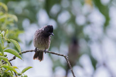 Red vented bulbul perching on a sandal tree. Red vented bulbul perching on a sandal tree branch Stock Photo