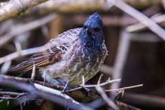 Red vented bulbul. Perching on a tree branch Royalty Free Stock Photography