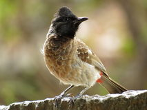 Red Vented Bulbul Portrait Stock Photos
