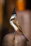 Red vented bulbul portrait. Royalty Free Stock Photos