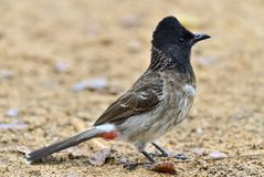 The red-vented bulbul Pycnonotus cafer. Is a member of the bulbul family of passerines. Sri Lanka Stock Photo