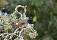 The red-vented bulbul Pycnonotus cafer. Is a member of the bulbul family of passerines. Sri Lanka Stock Photography