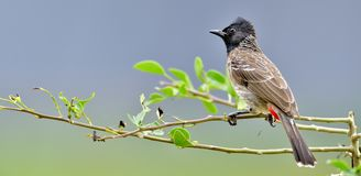 The red-vented bulbul Pycnonotus cafer. Is a member of the bulbul family of passerines. Sri Lanka Stock Images