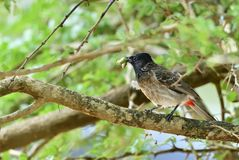 The red-vented bulbul Pycnonotus cafer. Is a member of the bulbul family of passerines. Sri Lanka Royalty Free Stock Photography