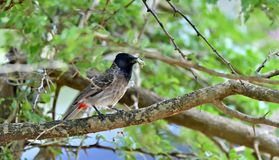 The red-vented bulbul on the branch of tree. The red-vented bulbul Pycnonotus cafer is a member of the bulbul family of passerines. Sri Lanka. Yala National Royalty Free Stock Image