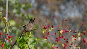 Red-vented Bulbul Pycnonotus cafer. Red-Vented Bulbul sitting on a flowery branch Royalty Free Stock Photos