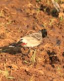 Red Vented Bulbul. Pycnonotus cafer Royalty Free Stock Image