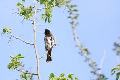 Red vented bulbul showing Ruffle feathers Royalty Free Stock Photo