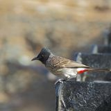 Red Vented Bulbul side closeup Royalty Free Stock Photography