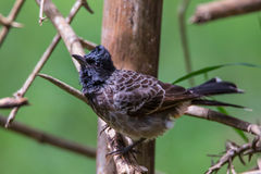 Red vented bulbul on a twig. Red vented bulbul perching on a tree branch Stock Photo