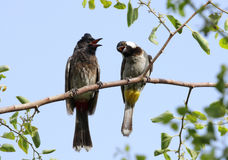 A red vented and a white cheeked bulbul perched on a tree Royalty Free Stock Images
