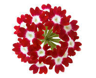 Red verbena. Flower isolated on white background Royalty Free Stock Image