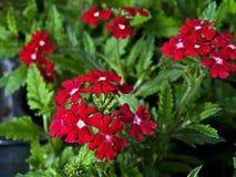 Red verbena. Growed in garden Stock Image