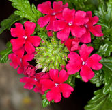 Red verbena Stock Photo