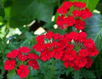 Red verbena. Red blooming verbena close up Stock Photos