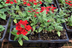 Red Verbena bunches in nursery flat. Red verbena with little red petals growing in a nursery flat tray royalty free stock images