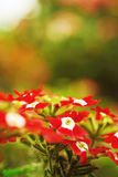 Red verbena Stock Images